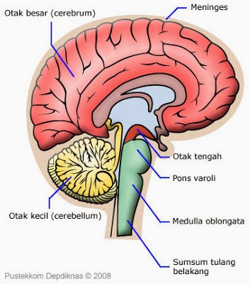 Brain as Central Nervous System