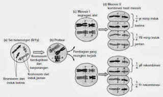 Material about Chromosomes and Meiosis in Inheritance